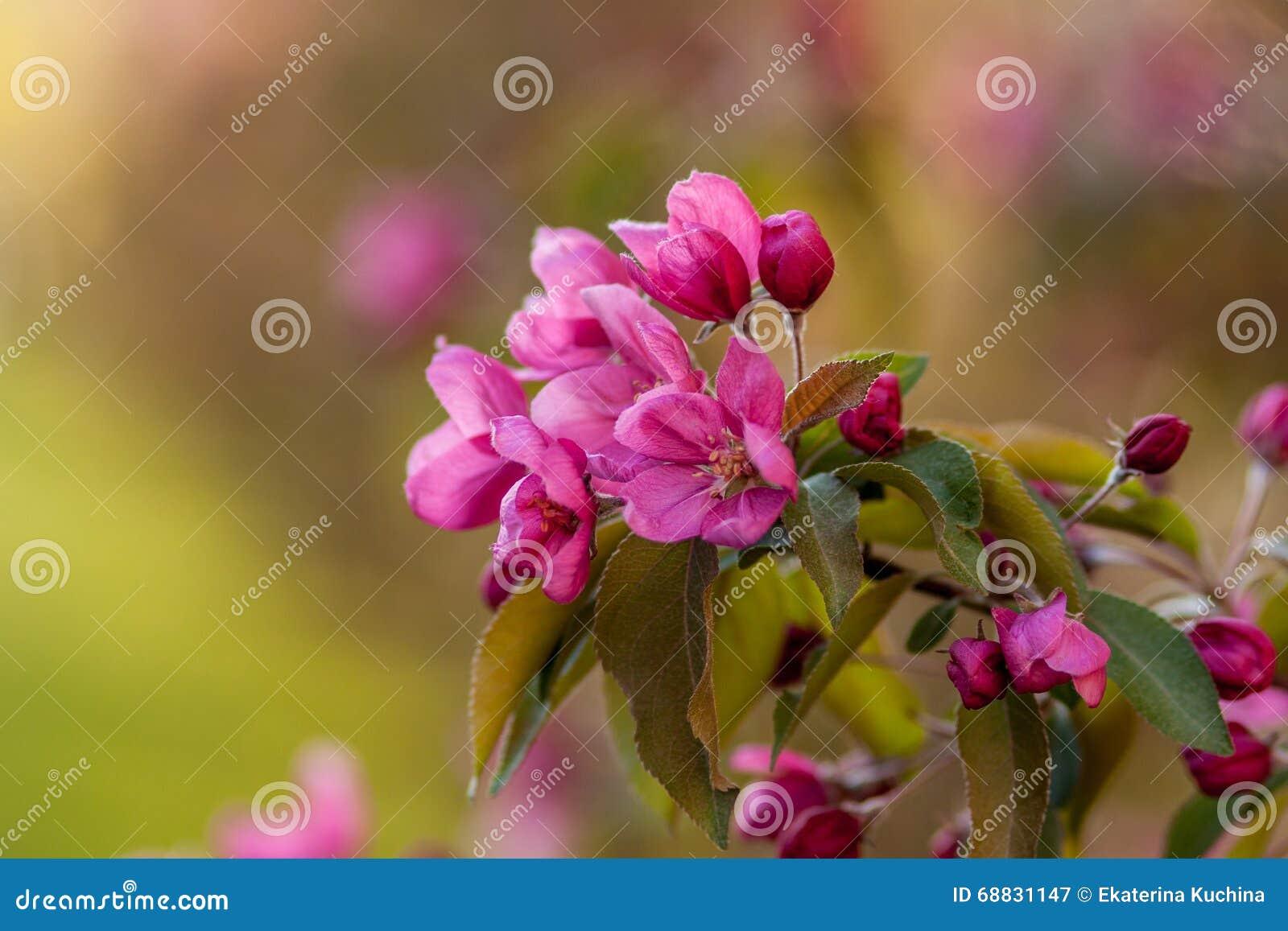 Flowering apple trees pink flowers beautiful color stock image flowering apple trees pink flowers beautiful color mightylinksfo