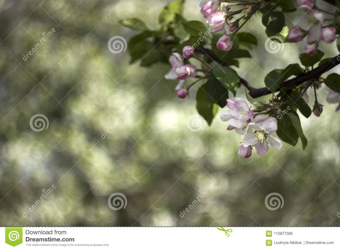 Flowering Apple Trees In Spring Small White Pink Flowers On Tre