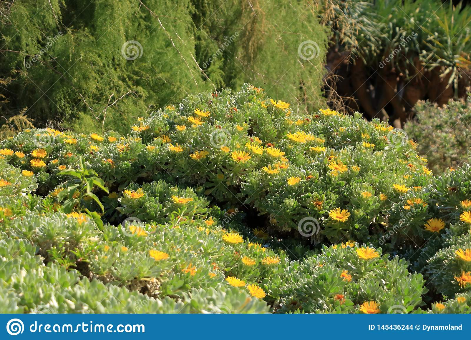 Flowering Asteriscus sericeus natural floral background