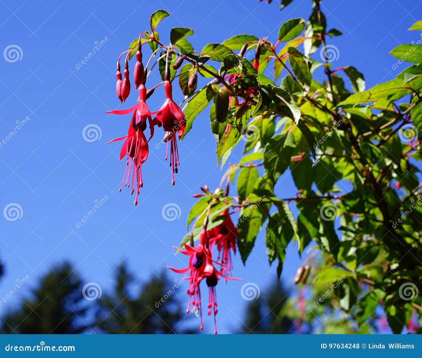 Flowering bi-color fushia shrub