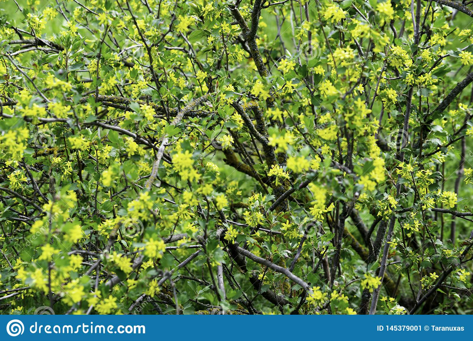 Flowering Black Currant Bushes In Spring Small Yellow Flowers