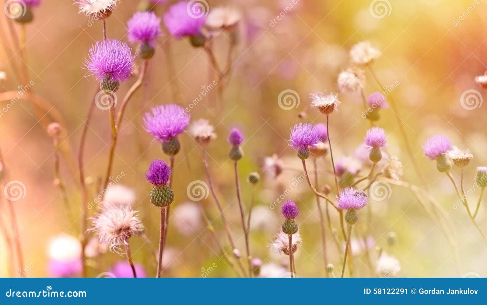 Flowering, blooming thistle - burdock