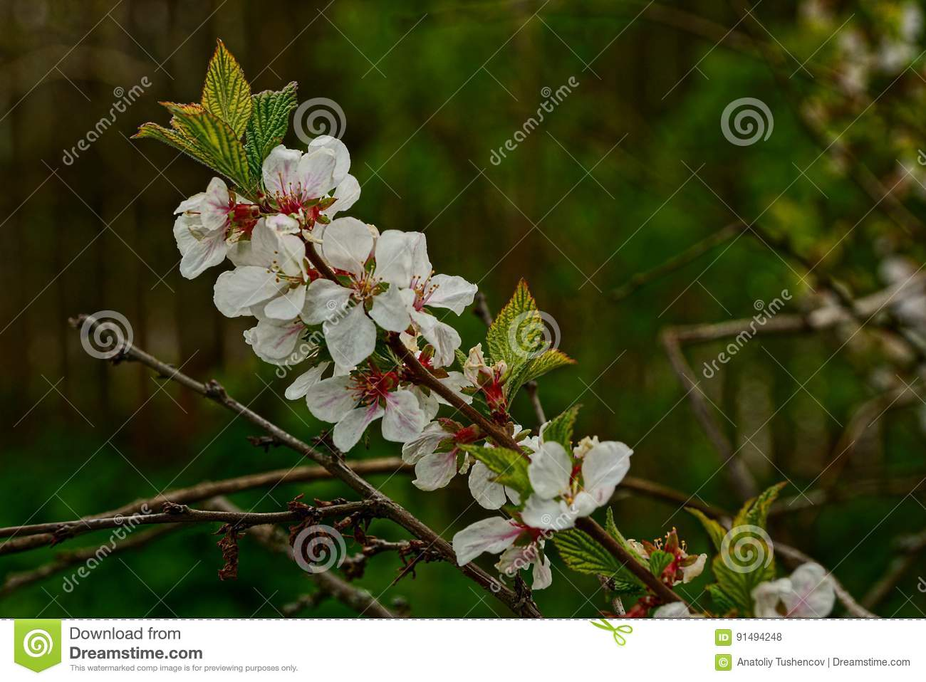 Flowering Branch Of A Cherry Tree With White Flowers Stock Photo
