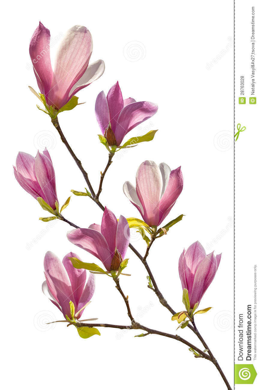 Flowering Branch Of Magnolia Stock Photo Image Of Delicate
