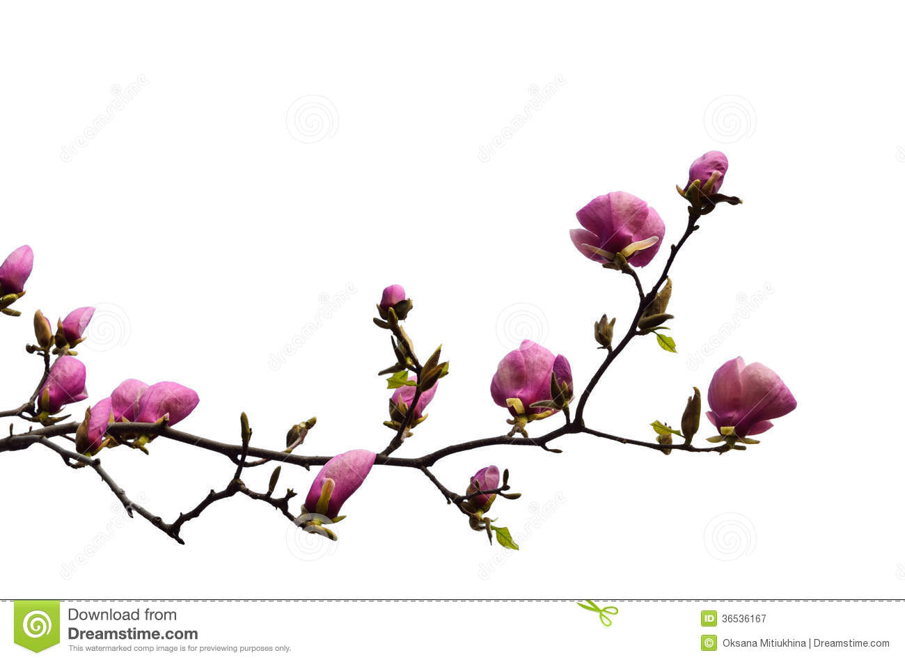 Flowering Branch Of Magnolia Cut Out Stock Image Image