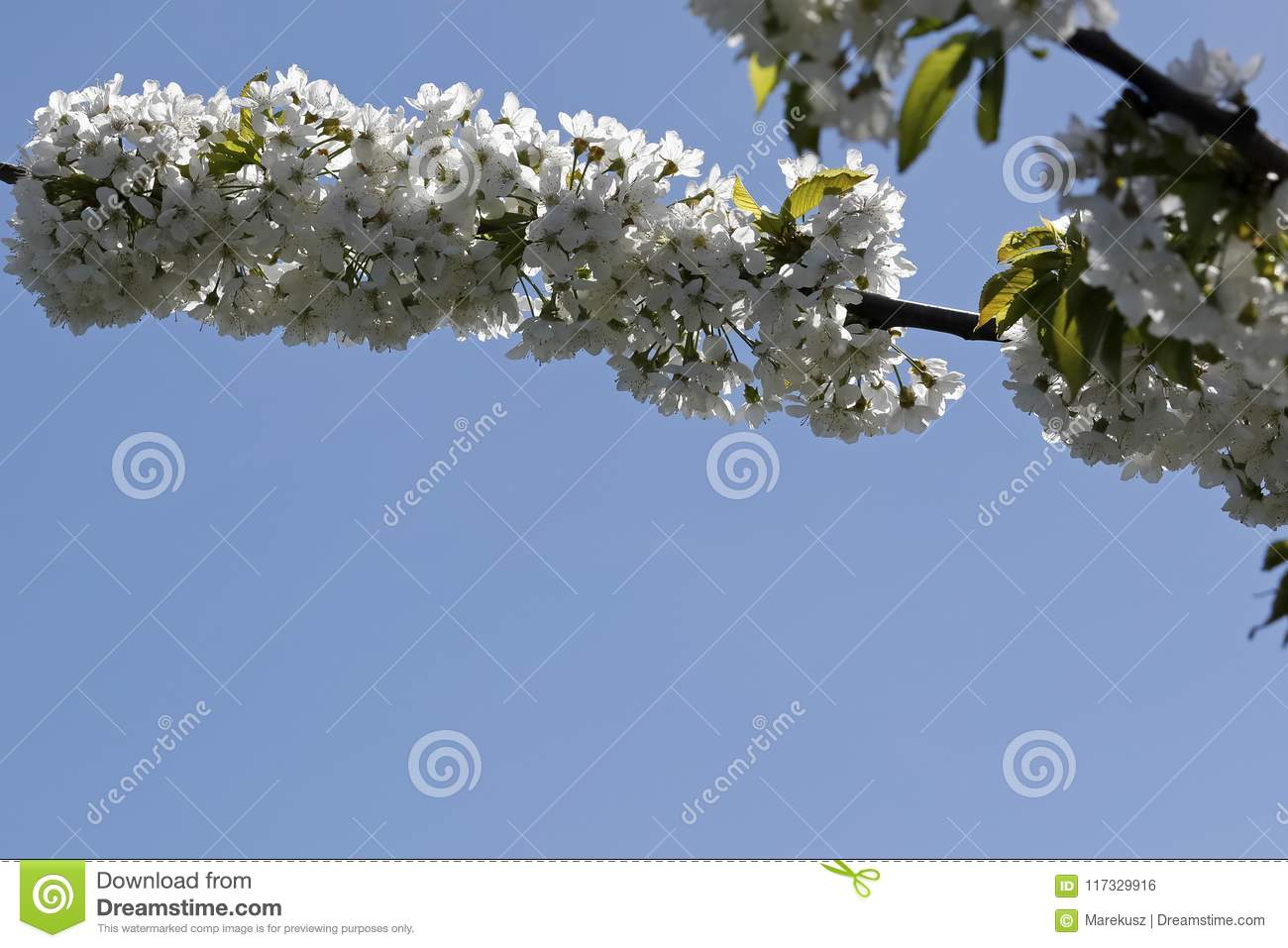 Flowering Branches Of Fruit Trees Stock Photo Image Of Daylight