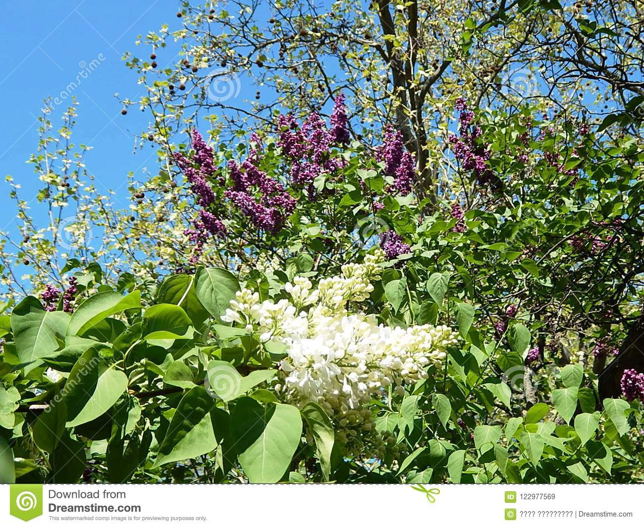 Flowering Branches Of A Lilac Bush With White Flowers Stock Image