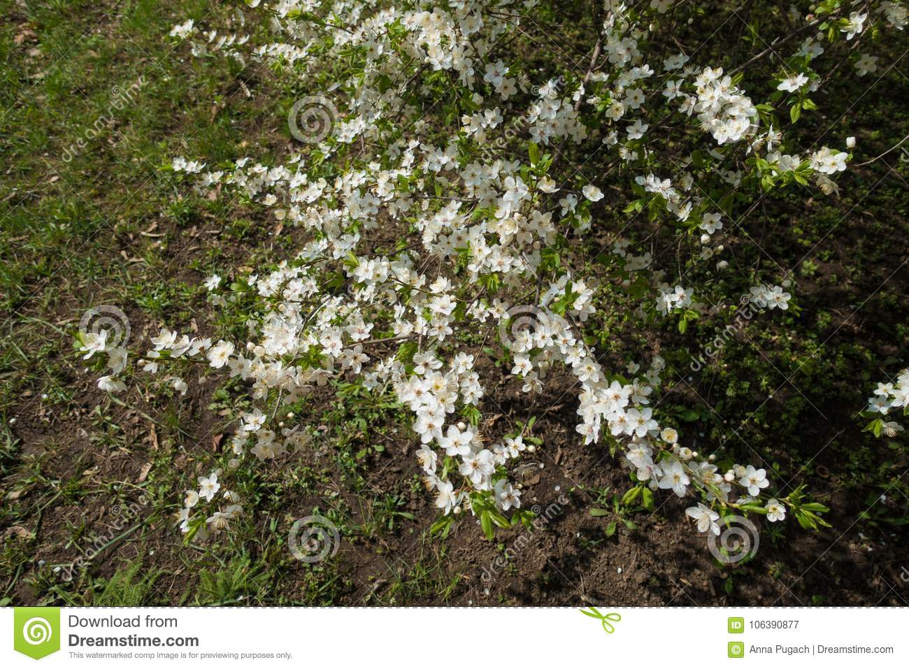 Flowering Branches Of Plum Above The Grass Stock Image - Image of ...
