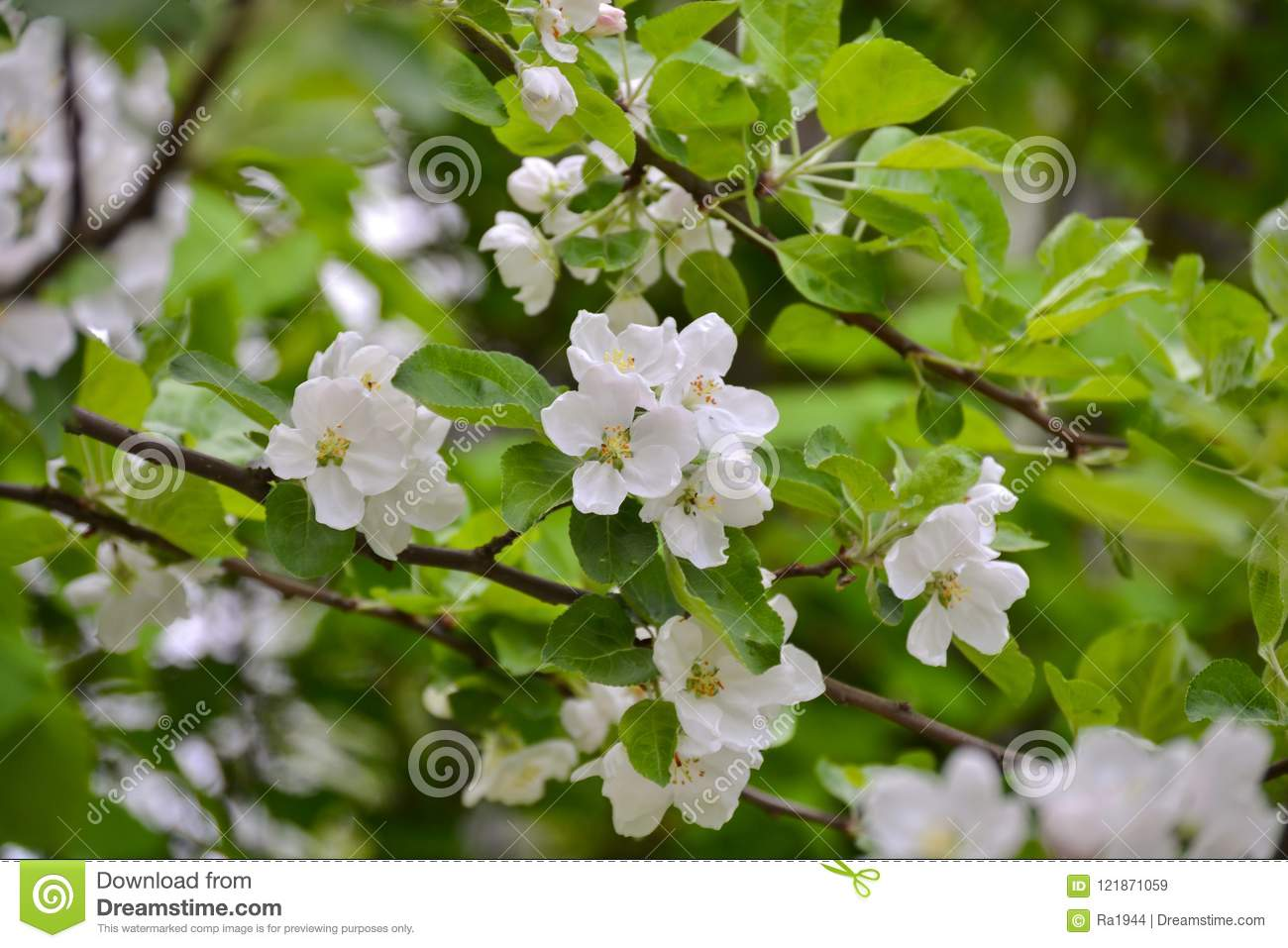 Flowering branches of trees with apple white flowers stock image download flowering branches of trees with apple white flowers stock image image of cherry mightylinksfo