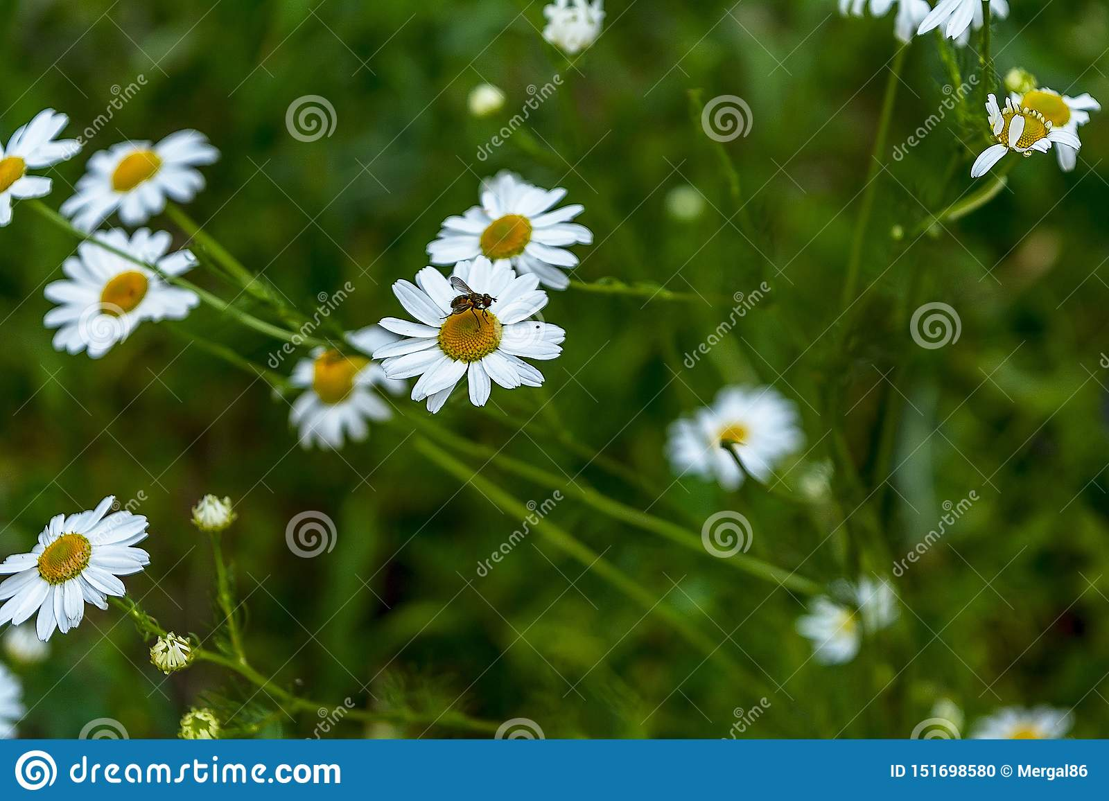 Flowering. Bug on the chamomile. Blooming chamomile field, Chamomile flowers on a meadow in summer, Selective focus