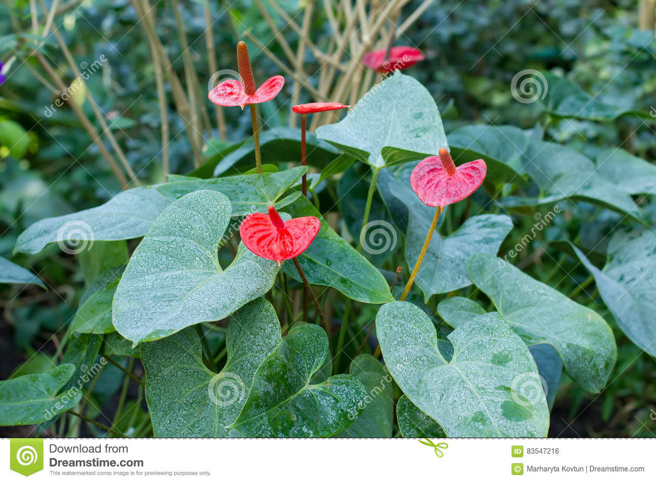 Flowering bush of anthurium in a tropical forest stock photo download flowering bush of anthurium in a tropical forest stock photo image of exclusive izmirmasajfo