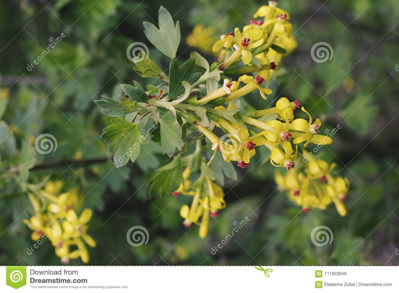 Flowering Bush Of Currant Stock Photo Image Of Yellow 111833948