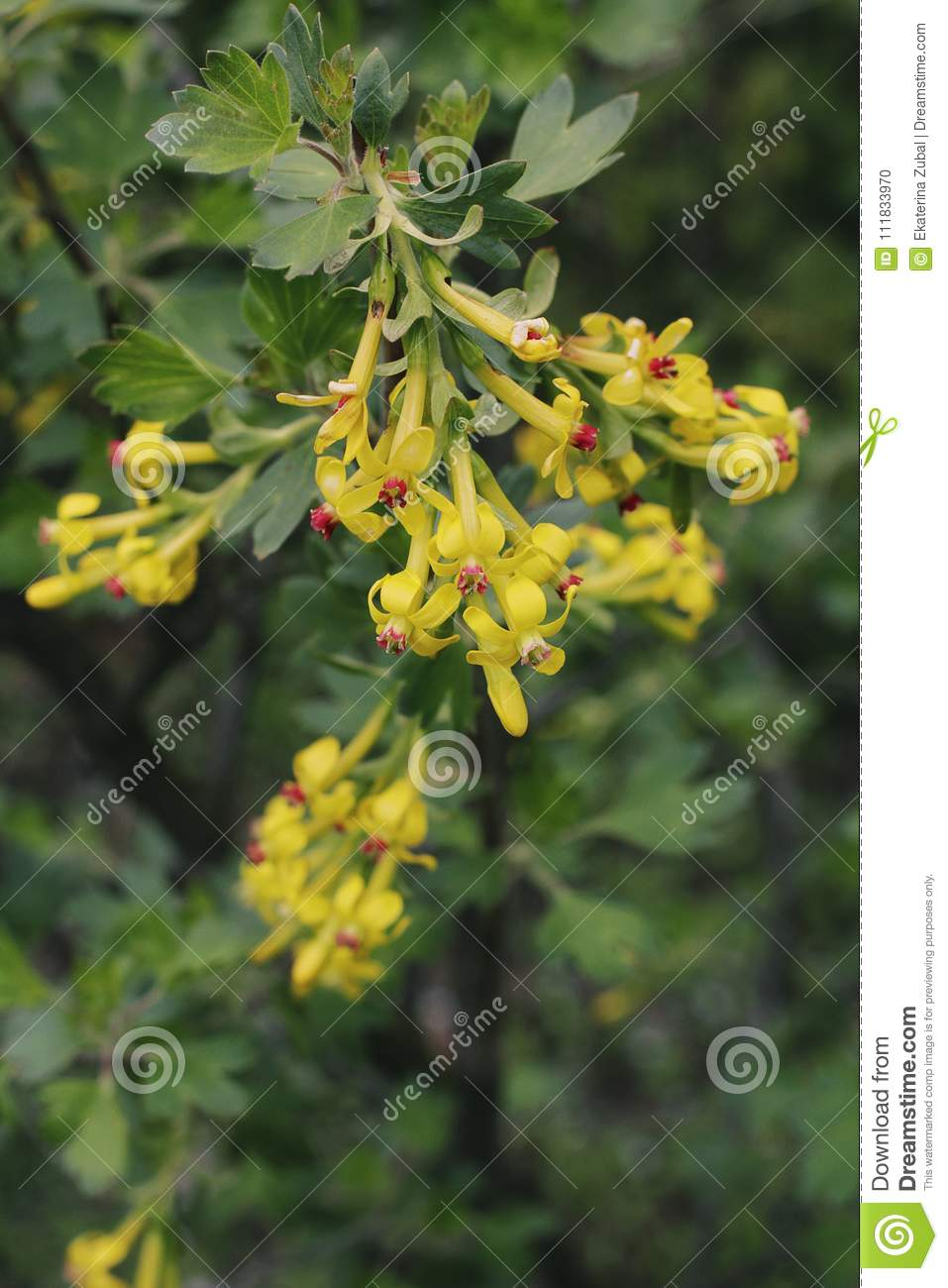Flowering Bush Of Currant Stock Photo Image Of Floral 111833970