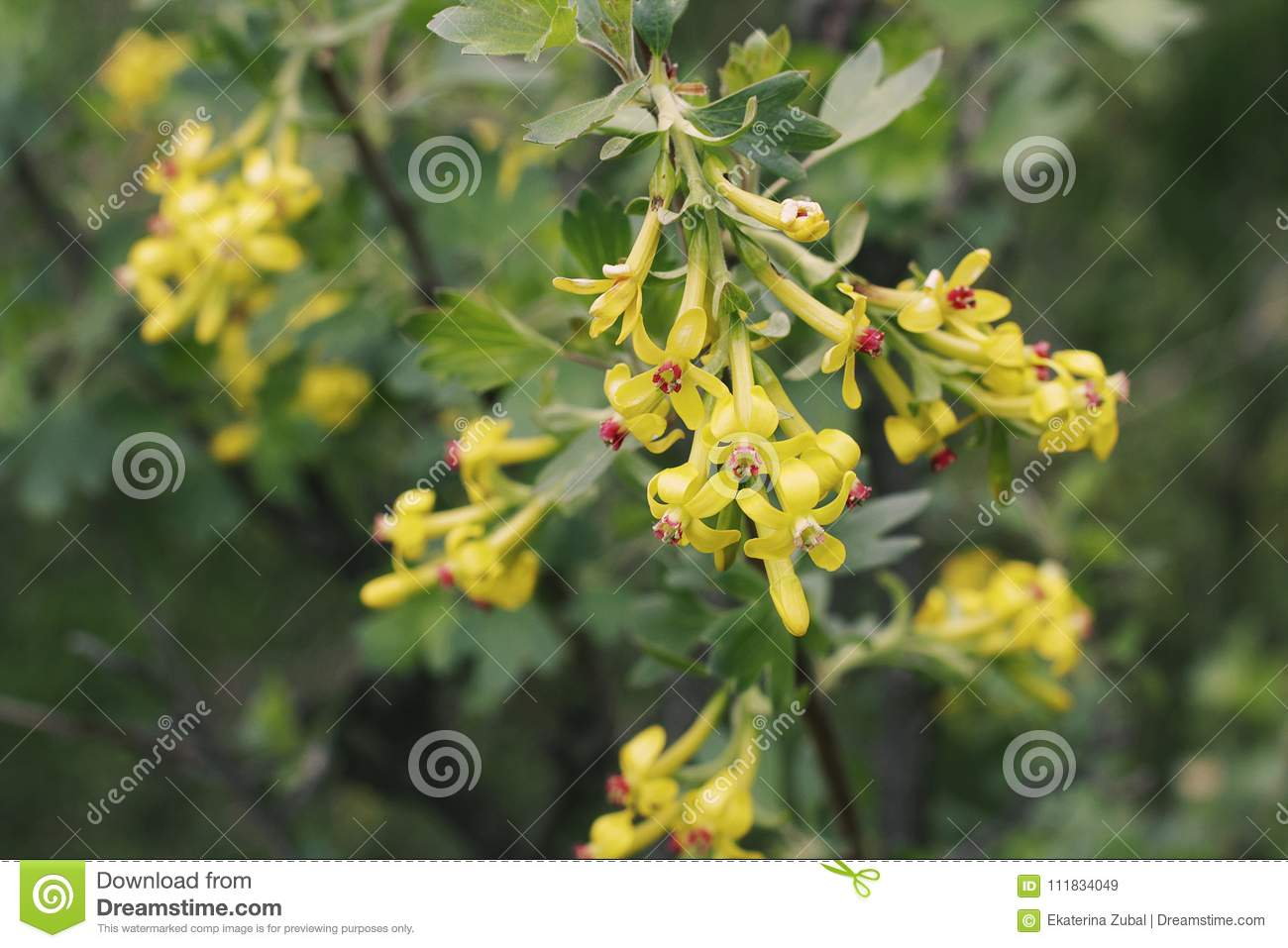 Flowering Bush Of Currant Stock Image Image Of Nature 111834049