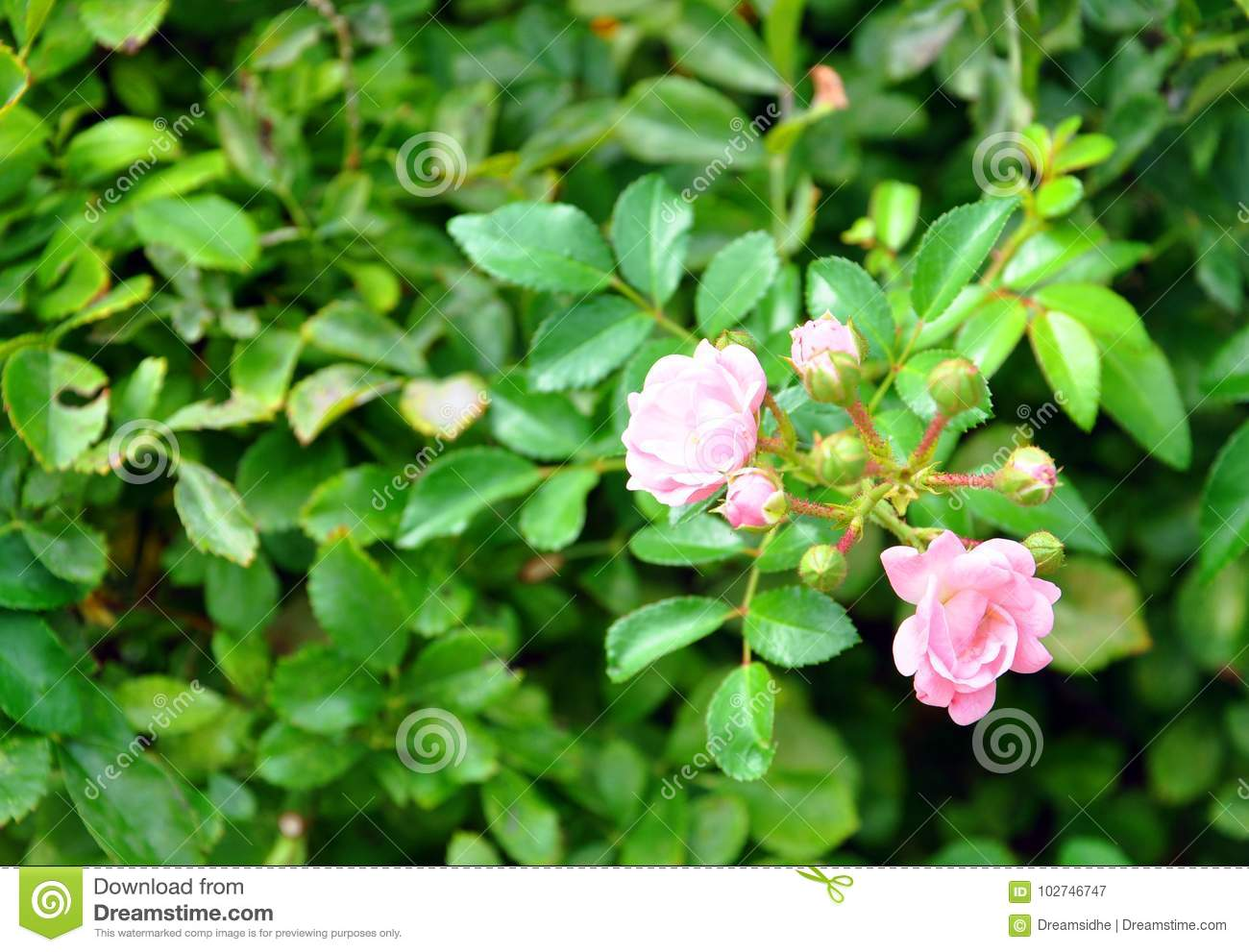 Flowering Bush With Pink Flowers Stock Image Image Of Pink Bright