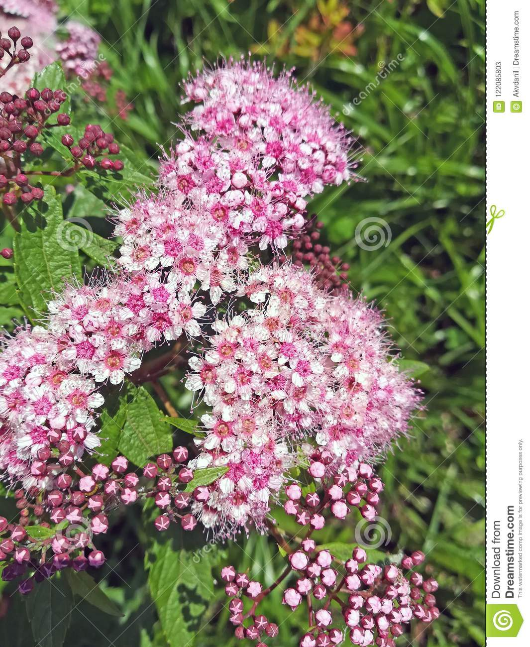 Flowering bush stock image image of beautiful concept 122085803 a flowering bush with small pink flowers mightylinksfo