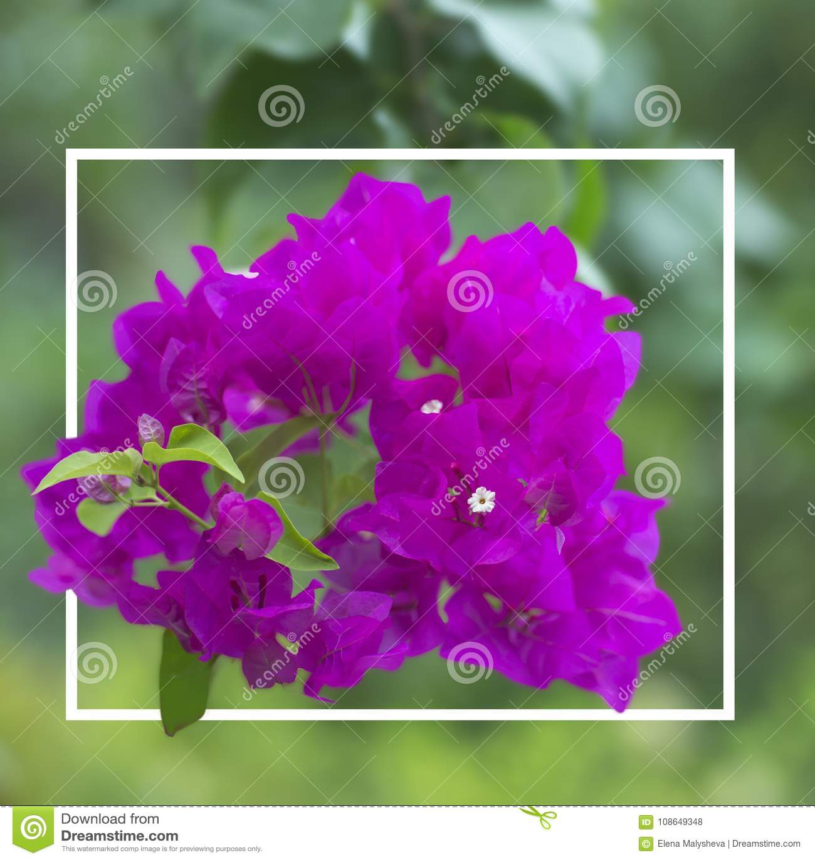 Flowering Bush Syarkimi Flowers Stock Photo Image Of Macro Branch