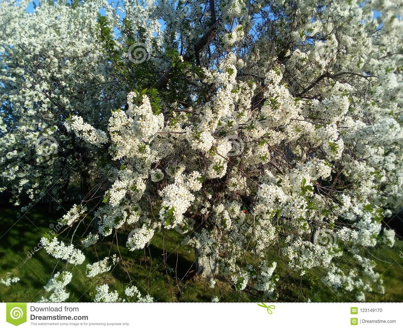951a98e20adb8 Flowering bushes of lilac. stock photo. Image of bushes - 123149170