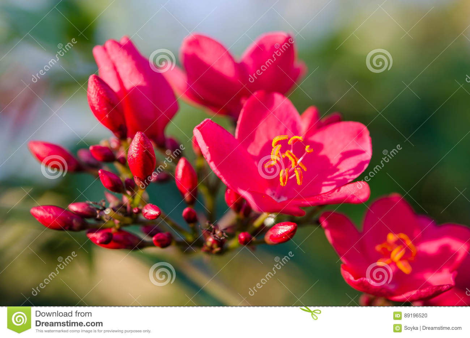Flowering Bushes With Pink Flowers Stock Photo Image Of Botany