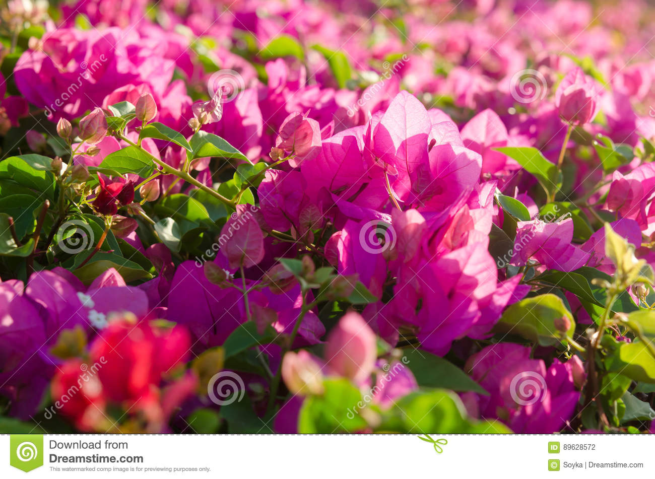 Flowering Bushes With Pink Flowers Stock Photo Image Of Magnolia