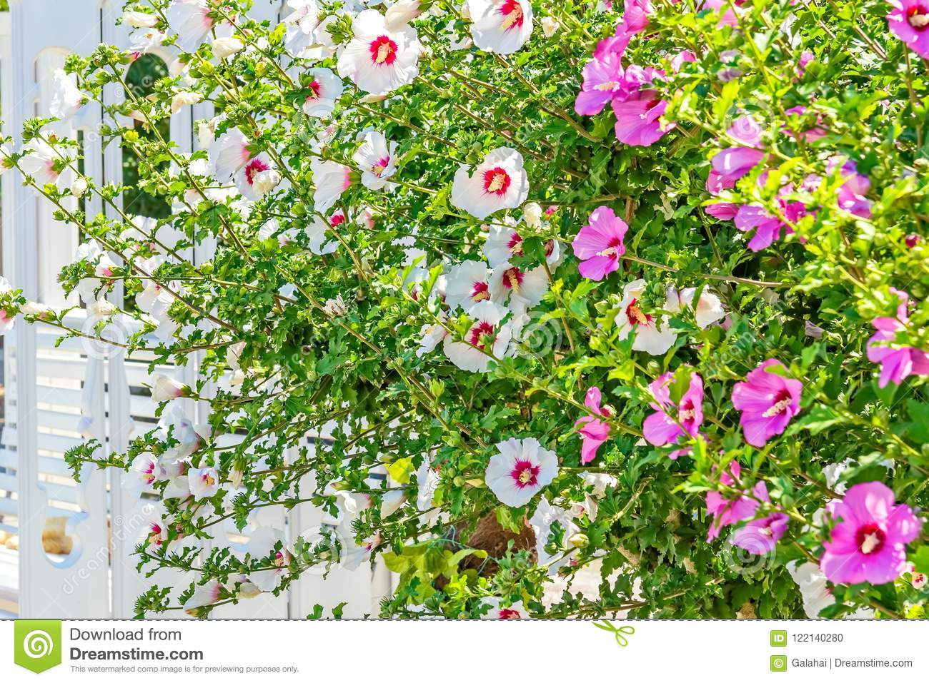 Flowering Bushes Of White And Pink Hibiscus Close Up Stock Photo
