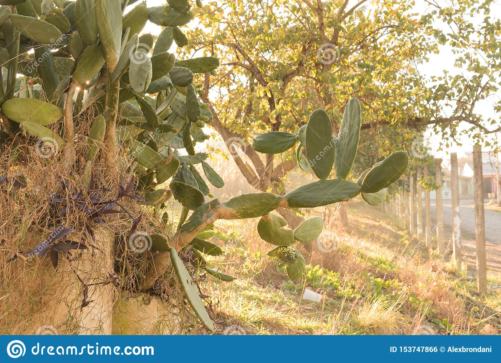 Flowering of Cactus Opuntia in winter morning 06