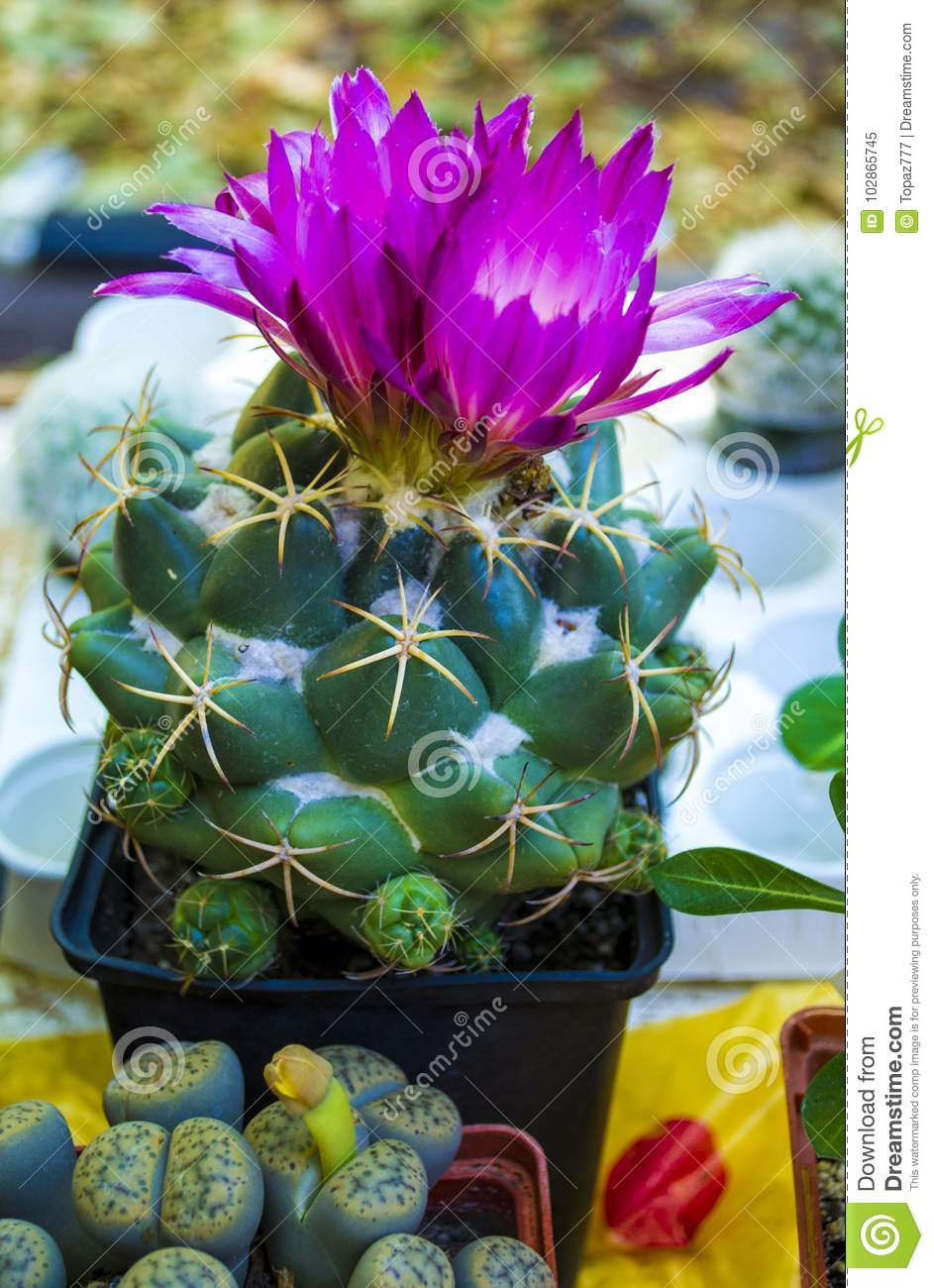 Flowering Cactus Pink Cactus Flowers Stock Image Image Of Cactus