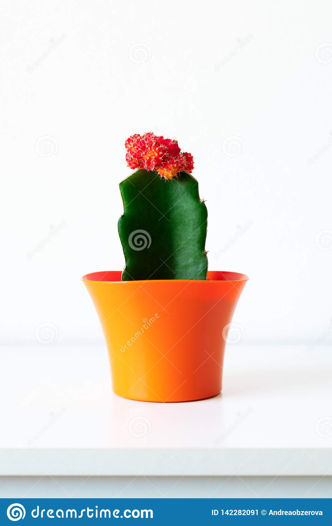 Flowering cactus plant in bright orange flower pot against white wall. House plant on white shelf with copy space.