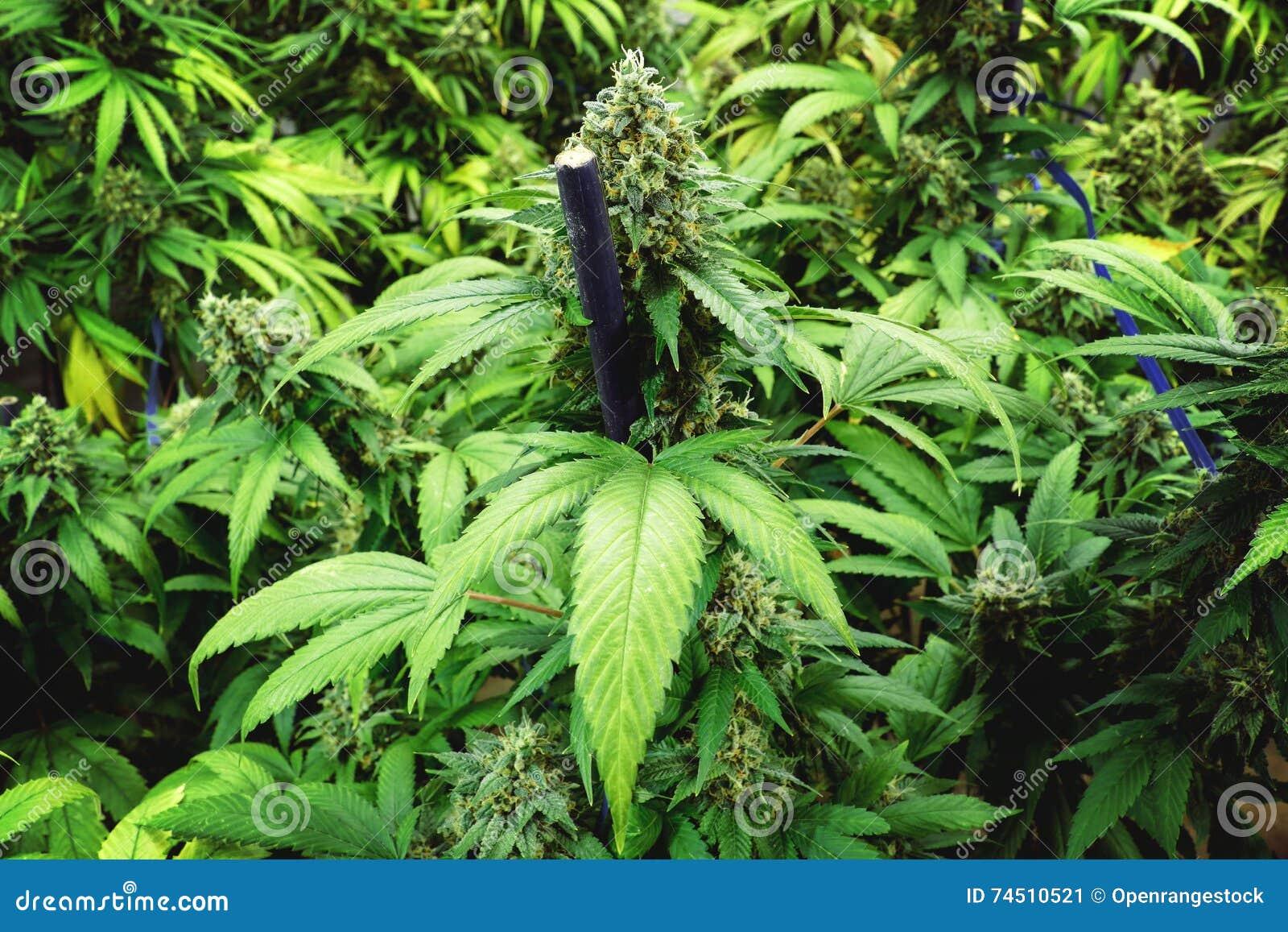 how to start marijuana plant indoor for outdoor