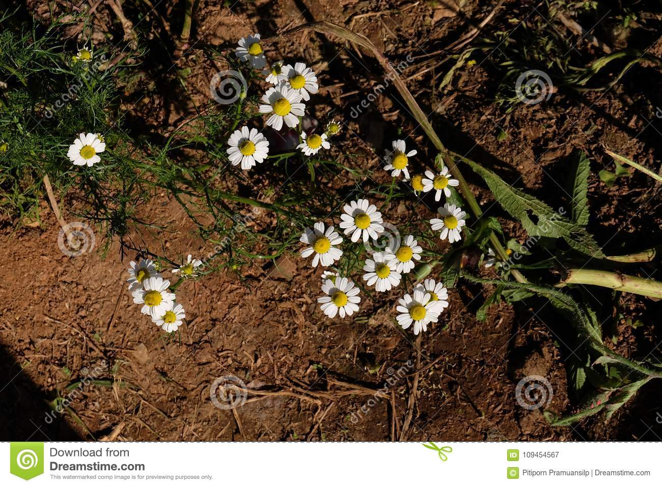 Chamomile Garden / White Flowers Of German Chamomile Daisy. Stock ...