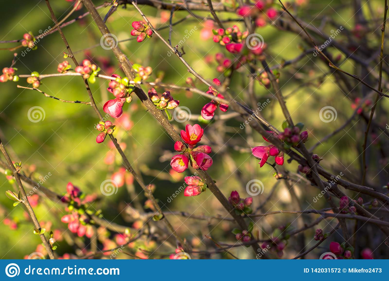 Flowering cherry branches, in early spring. Deep blurred background