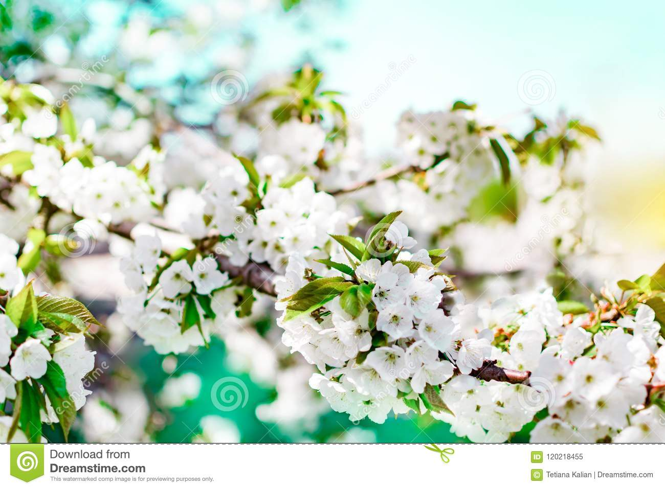 Flowering Cherry Tree Branch On Blue Sky Background At Sunny Day