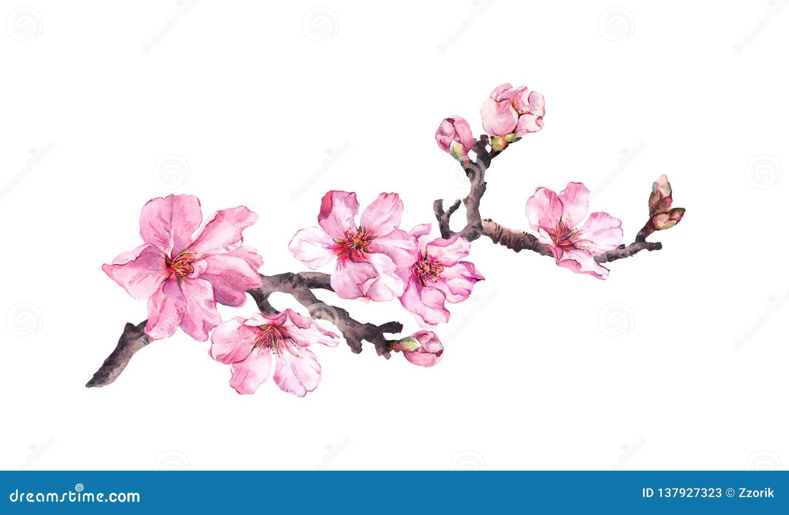 Flowering cherry tree. Pink apple flowers, sakura, almond flowers on blooming branch. Water color