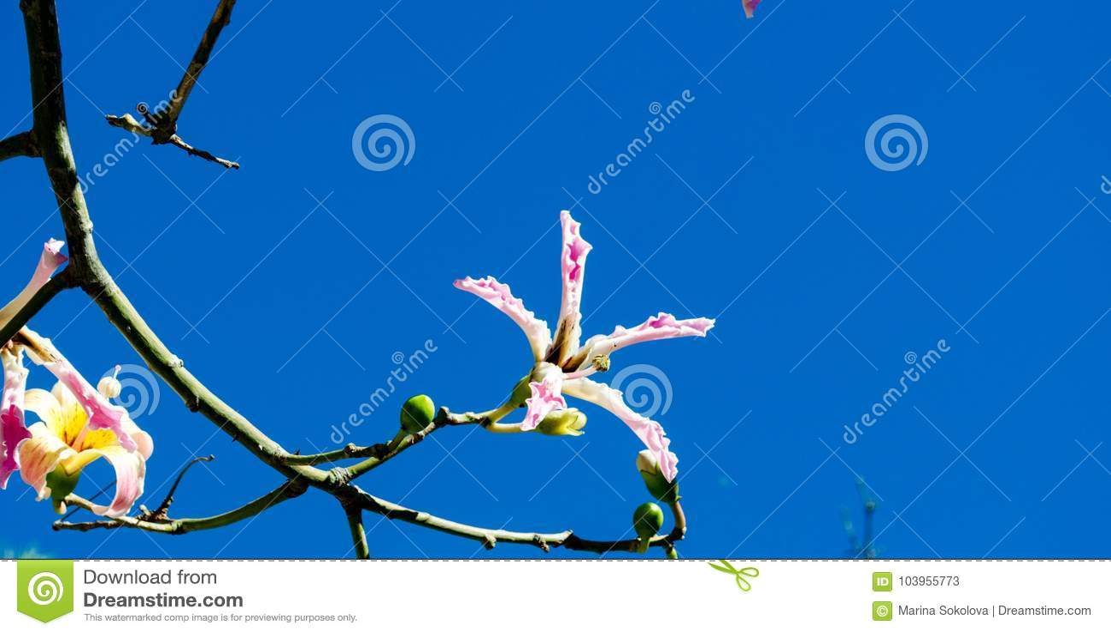 Flowering Tree Branches Stock Image Image Of Season 103955773