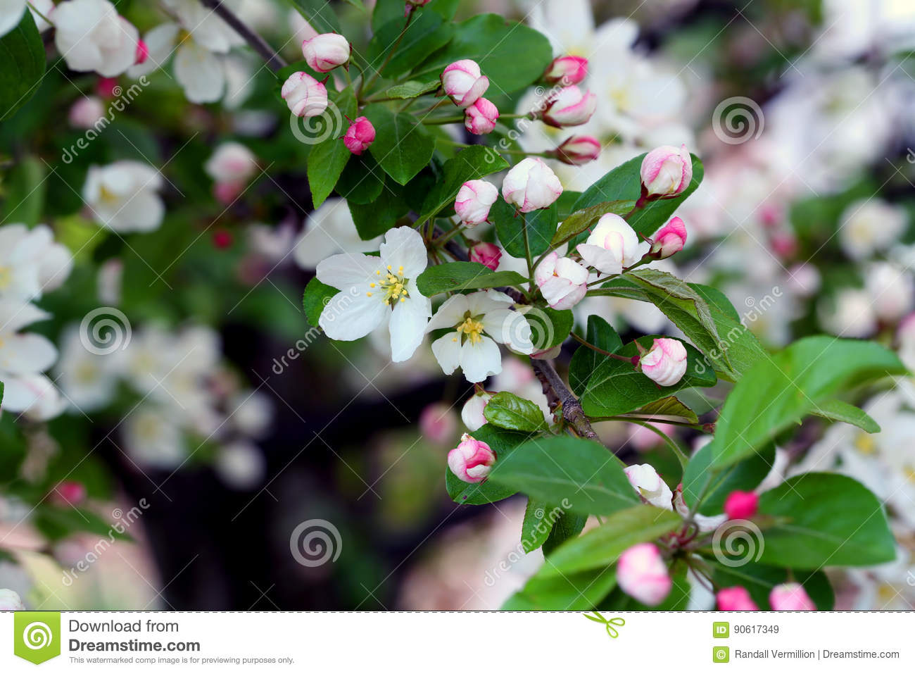 Flowering Crab Apple Blossoms Stock Image Image Of Closeup