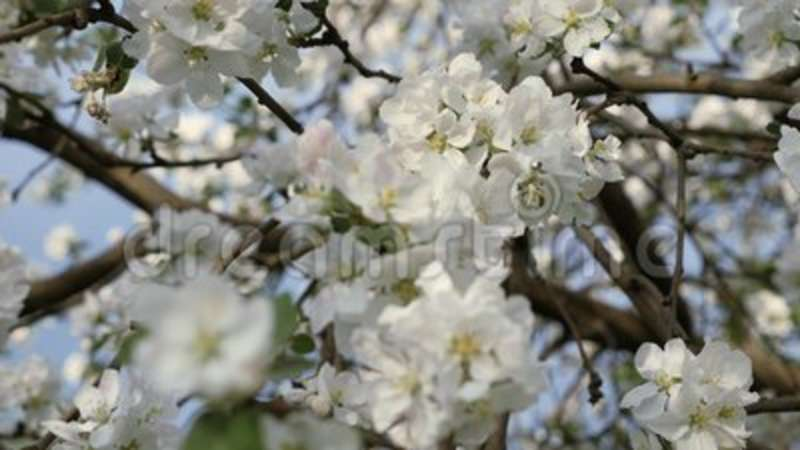 Flowering Crabapple Branches Of Fruit Tree In Spring White Flowers