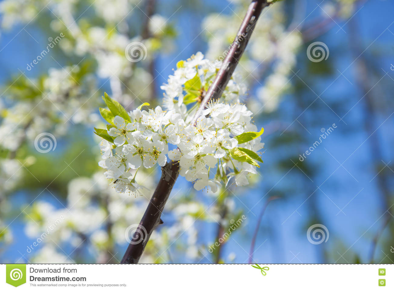 Flowering Crabapple Home The Apple Tree Blooms White Flowers Stock