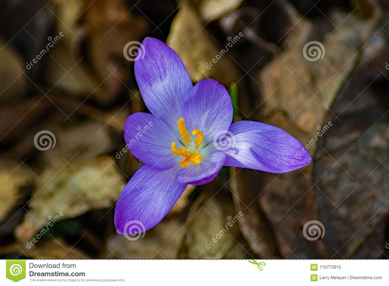 Crocus First Flower Of Spring Closeup Stock Image Image Of