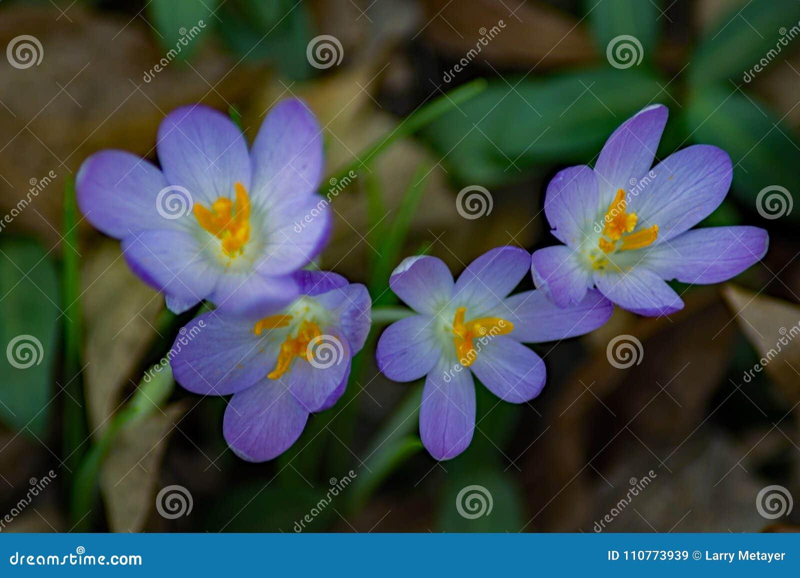 Crocus First Flower Of Spring Group Stock Image Image Of Dark