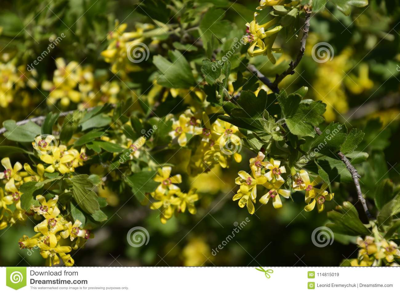 Flowering Currant Bush Gold Stock Image Image Of Countryside