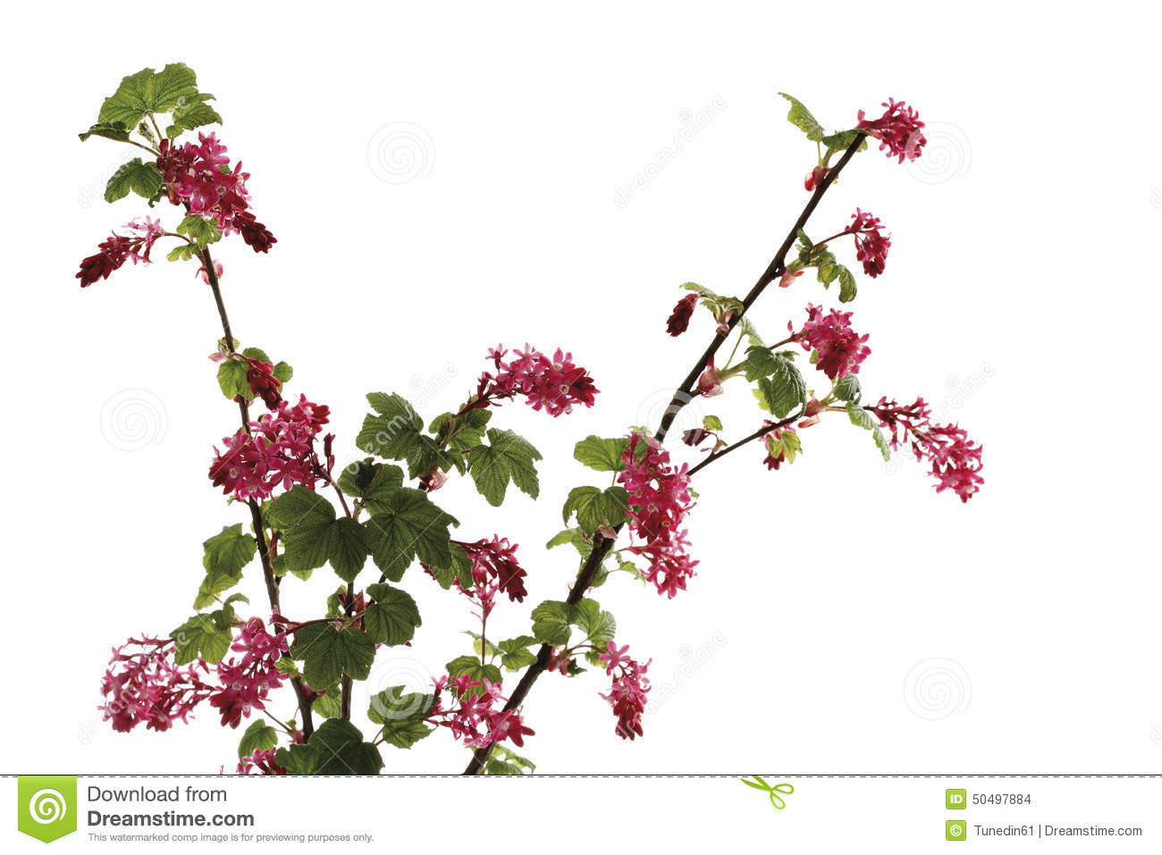 Flowering Currant Ribes Sanguineum Flowering Twig Stock Photo