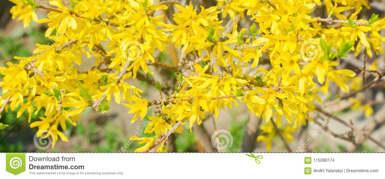 Flowering Currant Yellow Buds Close Up Concept Of Spring Natural
