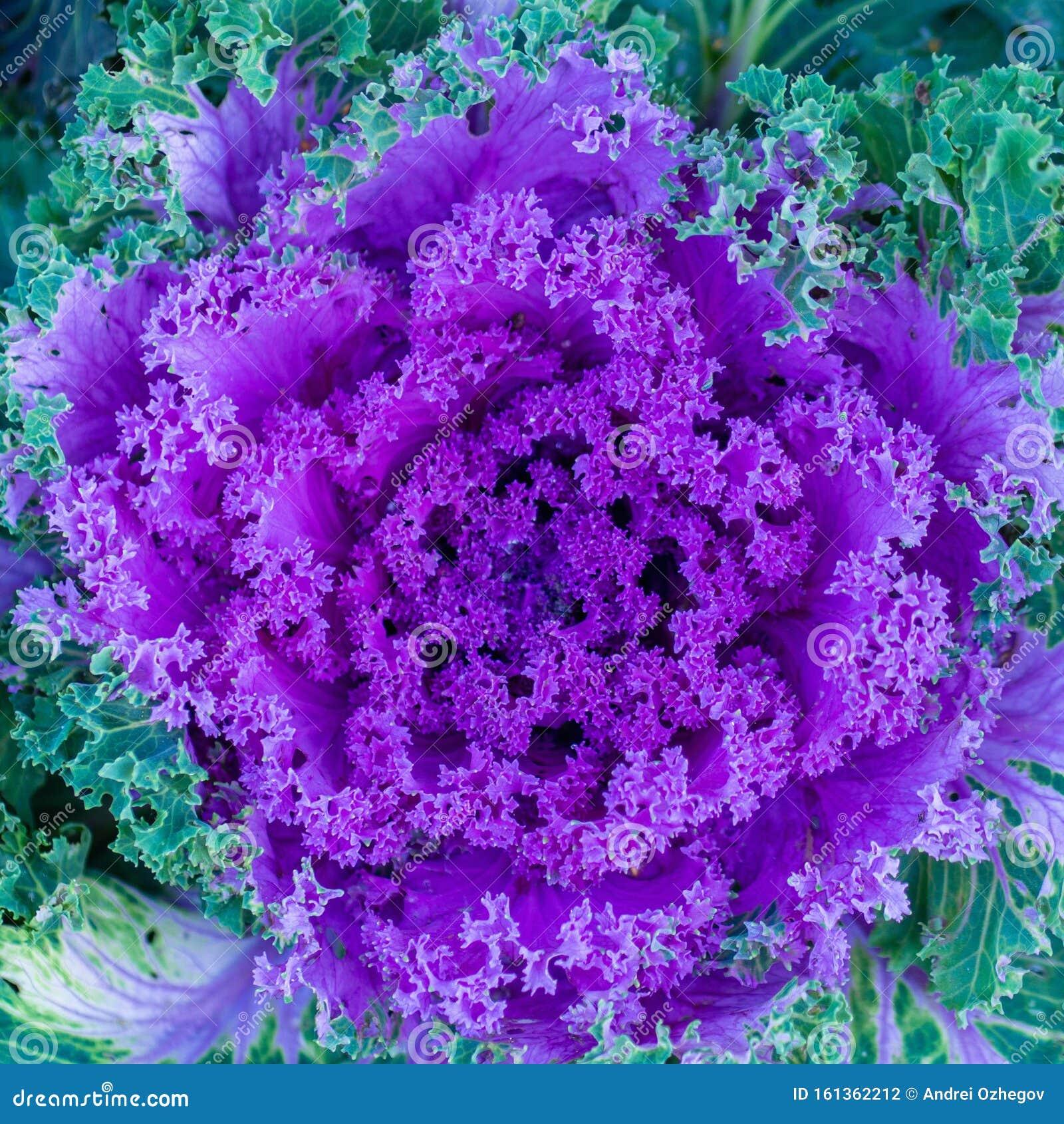 Flowering Decorative Purple Pink Cabbage Plant In Garden