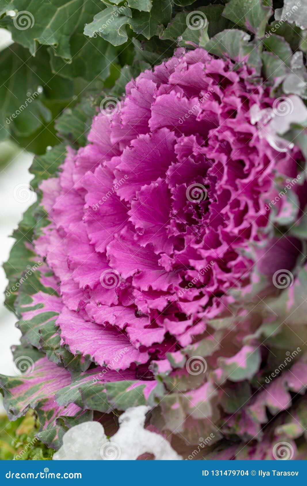 Flowering Decorative Purple Pink Cabbage Plant Ornamental Kale