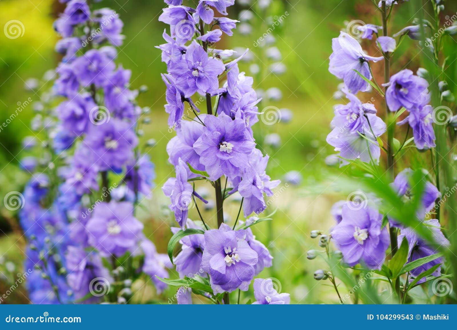Flowering Delphinium Closeup In Summer Garden Stock Image Image