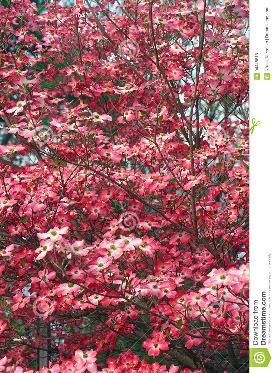 Flowering Dogwood In Blossom Stock Photo Image Of Flower Tree