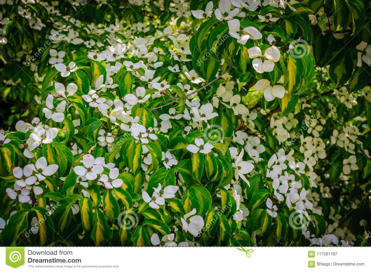 Flowering Dogwood. Colored Blooms And Colored Leaves Stock Image ...