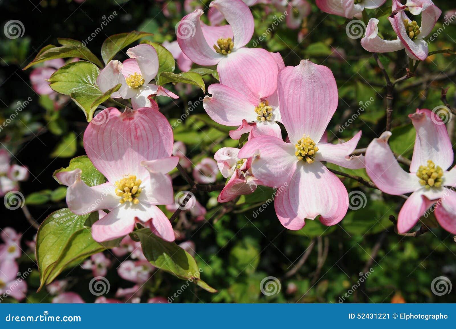 flowering dogwood cornus florida rubra pink flowers stock image image of botany dogwood. Black Bedroom Furniture Sets. Home Design Ideas