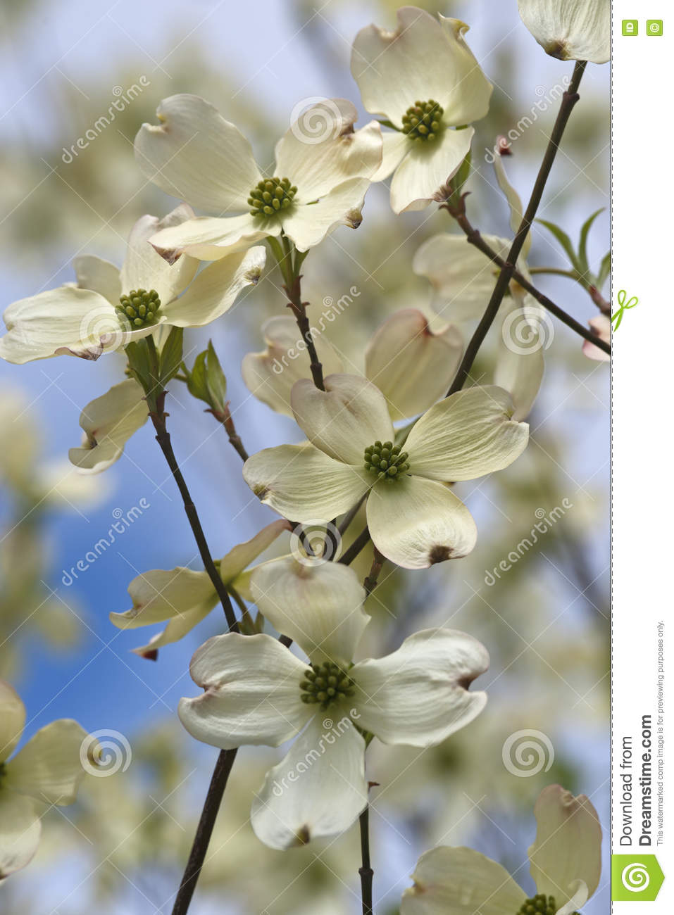 Download Flowering dogwood flowers stock image. Image of flowering - 76049027