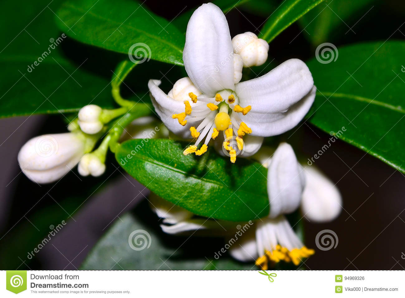 citrus flowers stock photo image of marumi branches 94969326